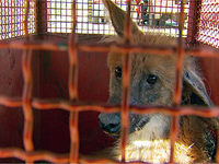 9º Batalhão captura lobo-guará em fazenda